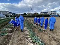 ネギの収穫・選別